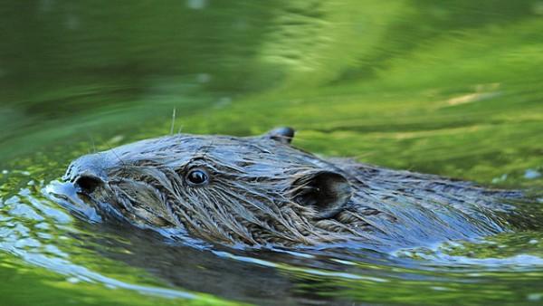 swimming beaver